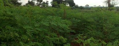 New rain season, new moringa growth